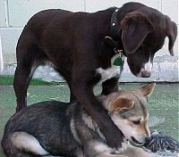 A chocalate with white mixed breed dog is standing over top of a laying black with brown and white Corgi mix. The dog on top has its paw wrapped around the dog on the grounds neck who is chewing on a rope toy.