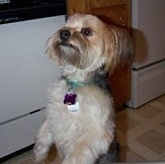A black and tan with white Yorkie-Apso dog standing up on its hind legs. It is looking up and to the left.