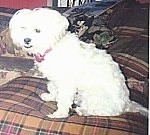 A white Lhatese is sitting on a brown plaid couch and looking to the left of its body. The dog has an underbite.