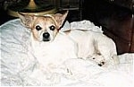 A shorthaired white with tan Pomchi is laying on a blanket and it is looking forward.