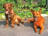 Two large breed dogs on a black top panting in front of a chain link fence covered in an ivy vine. A red mixed breed dog is laying on a black top surface next to a sitting brown mixed dog.