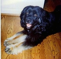 Upper body shot - A thick-coated, black with tan Cocker mix is laying on a hardwood floor. It looks happy with its mouth open and tongue out.