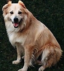 A large medium-coated, tan with white mixed breed dog is sitting in grass. Its mouth is open and its tongue is out.
