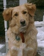 A Golden Labrador issitting on a porch. Its head is tilted to the left and there is snow behind it.