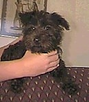Scoodle   Poodle / Scottish Terrier mix