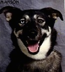 Close up head shot - A black with white mixed breed dog is sitting in front of a backdrop. Its mouth is open and it has one blue eye and one brown eye.