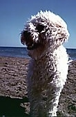 View from the front - A curly-coated Malti-poo is standing on a sandy beach with water in the distance looking to the left with its mouth open. The wind is blowing its hair.
