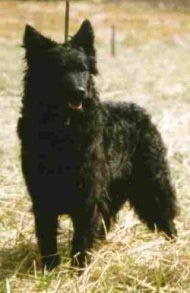 View from the front - A wavy-coated black with a tuft of white Mudi is standing in grass and it is looking to the right. Its mouth is open.