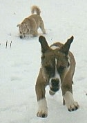 Two dogs in snow, a brown, white and black Pit Bull Terrier mix running right at the camera and a tan mixed breed dog digging into snow behind it.