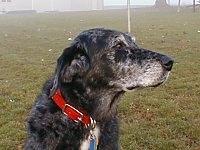 Upper body shot of a dog sitting and looking to the right - A merle black with white Australian Shepherd mix is wearing a red collar sitting in grass on a foggy day.
