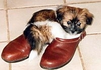 A small brown with white and black ShiChi puppy is laying in a pair of red shoes and on top of a tiled floor.