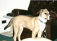 A tan with white Pit Bull Terrier mix is standing in front of a brown leather recliner chair.