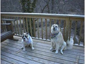 Spike the Bulldog and a tan with white Shepherd Husky are sitting on a wooden deck looking forward and they are both wearing bandanas.