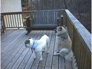 The backside of Spike the Bulldog and a tan with white Shepherd Husky are sitting and standing on a wooden porch. They both are wearing bandanas.