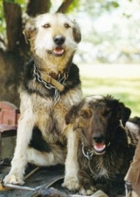 Front view of two wiry-looking dogs side by side - A tan and black New Zealand Huntaway is sitting next to a laying black with tan and white New Zealand Huntaway. Both of there mouths are open, it looks like they are smiling.