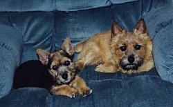 Two dogs in a blue arm chair, an adult and a puppy. The puppy is black and tan and the adult is tan.