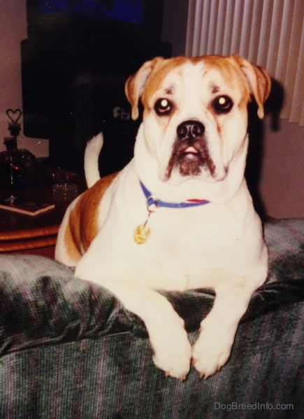 A white with tan Olde English Bulldogge is up on a couch with its front paws hanging over the back. The dog has a big underbite.