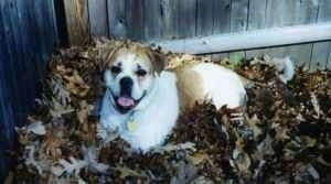 Side view - A white with tan Olde English Bulldogge is laying in a pile of leaves in front of a wooden privacy fence. Its mouth is open and it looks like it is smiling.