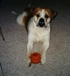 Front view - A white with tan Olde English Bulldogge is laying stretched out on a tan carpet with its head up. There is a toy in between its front paws. The dog has a big underbite exposing its bottom canine teeth which are resting over its lips
