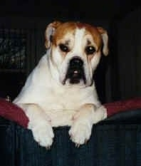 A white with tan Olde English Bulldogge has its front paws over the back of a couch and it is looking forward. The dog has a large underbite