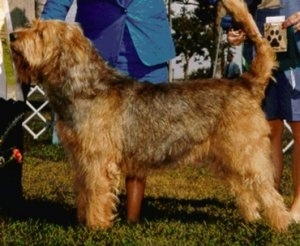 Left Profile - A shaggy-looking, drop-eared, tan with brown and white Otterhound dog is standing outside being posed in a show stack by a person in a blue suit who is behind it.