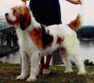 A shaggy, drop-eared, white with brown and black Otterhound dog is standing in grass and there is a lady in a black dress posing it in a show stack.