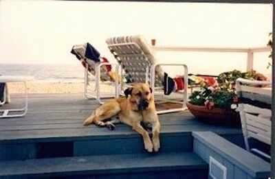 A tan dog is laying on a wooden beach front deck with lawn chairs and flower pots on it.