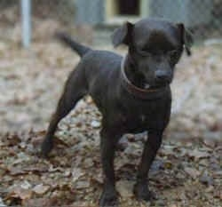Front view - A black Patterdale Terrier dog is standing outside in a yard covered in leaves and it is looking down and forward.