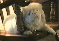 An albino Pekingese is laying in a wooden chair and it is looking to the right.