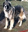 A black with tan and white Carpathian Sheepdog is standing in dirt and they are looking to the left.