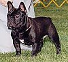 Close up - A black with white French Bulldog is standing in grass and looking to the left. There is a person standing behind it.
