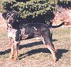 A black with tan Catahoula Leopard Dog is standign on grass and it is looking forward. There is a bush behind it.