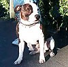 A white with brown Staffordshire Bull Terrier is sitting on a blacktop surface and he is looking to the right.