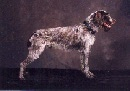Right Profile - A brown and white Wirehaired Pointing Griffon is standing on a backdrop and it is looking to the right. Its mouth is open.