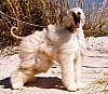 The right side of a tan Afghan Hound that is standing in the sand with a large grass in the background