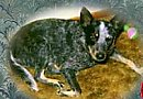 A black with white and tan Australian Cattle Dog is laying on a rug and it is looking up.