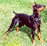 A black and tan German Pinscher is standing in grass and it is looking up and to the right.