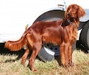 A large Irish Setter dog standing next to a white trailer in the grass