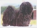 A black corded puli is standing on a concrete surface and it is looking forward.