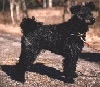 Right Profile - A black Pumi is standing outside on a walkway and it is looking to the right. Its head is slightly tilted to the right.