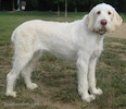 A white with tan Spinone Bosnian-Herzegovinian Sheepdogtaliano is standing in grass and it is looking forward.