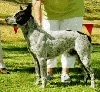 Left Profile - A white and black Australian Stumpy Tail Cattle Dog is standing in grass and it is looking to the left. There is a person standing behind the dog.