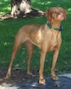 A tan Vizsla is standing in dirt and it i slooking to the right. There is a tree in the background.