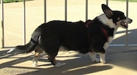 Right Profile - A black with white and tan Cardigan Welsh Corgi is standing on a concrete surface. There is a bike rack behind it. The Corgis mouth is open.