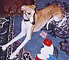 Whippet laying on a rug next to a couch