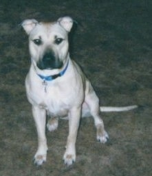 Front view - A tan with black American Pit Bull Terrier is wearing a blue collar sitting on a carpet looking forward.