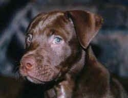 Close up head shot - a brown with white American Pit Bull Terrier puppy is sitting in a room looking to the left of its body.