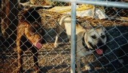 Two American Pit Bull Terriers standing on dirt behind the chain link fence with there mouth opens and tongues out