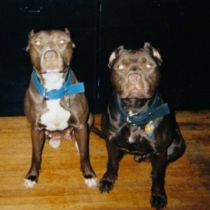 Two American Pit Bull Terriers are sitting on a hardwood floor