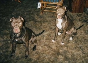 Two American Pit Bull Terriers are sitting on a carpet and looking forward. There is a rocking chair behind it.